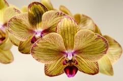 在白色背景的两朵黄色兰花 免版税库存照片