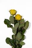在白色背景的两朵黄色玫瑰 库存图片