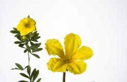 在白色背景的两朵黄色草甸花 免版税库存图片