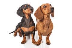 在白色背景的两条达克斯猎犬狗 库存照片