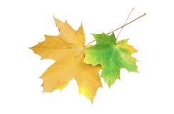 在白色背景的两片槭树叶子 图库摄影