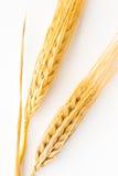 在白色背景的两粒大麦枝杈 库存照片