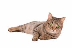 在白色背景的严肃的看的虎斑猫 免版税库存照片