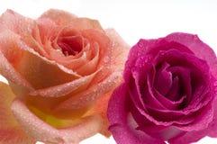 在白色的二朵玫瑰 库存照片