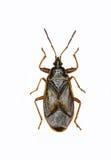 在白色背景的云杉的锥体臭虫 免版税库存图片