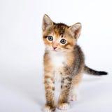 在白色背景的五个星期的老白棉布tortie平纹小猫 免版税库存图片