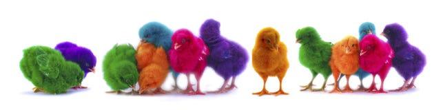 在白色背景的五颜六色的小鸡 免版税库存照片