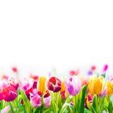 在白色背景的五颜六色的春天郁金香 库存照片