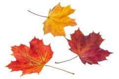 在白色背景的五颜六色的秋天槭树叶子 库存图片