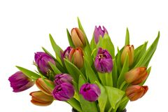在白色背景的五颜六色的郁金香 免版税库存图片