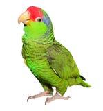在白色背景的亚马逊鹦鹉 图库摄影