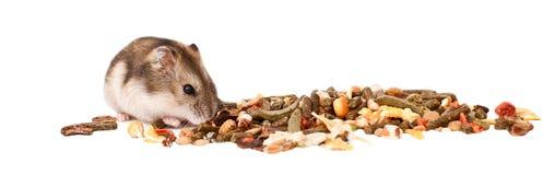 在白色背景的仓鼠,仓鼠吃干食物 图库摄影