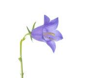 在白色背景的会开蓝色钟形花的草,特写镜头 免版税库存照片