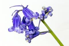 在白色背景的会开蓝色钟形花的草 库存照片