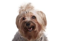 在白色背景的供玩赏用的小狗 库存图片