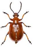 在白色背景的光亮的叶子甲虫 免版税库存图片