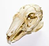 在白色背景的兔子头骨 免版税库存图片