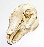 在白色背景的兔子头骨 库存照片