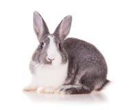 在白色背景的兔子 库存图片