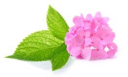 在白色背景的八仙花属花 图库摄影