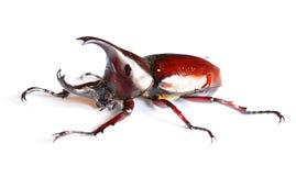 在白色背景的公犀牛甲虫 库存图片