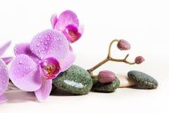 在白色背景的兰花和温泉石头 在分支的美丽的桃红色花 免版税库存照片