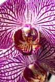 在白色背景的兰花植物兰花 图库摄影