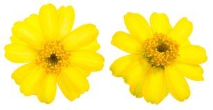在白色背景的共同的百日菊属 库存图片
