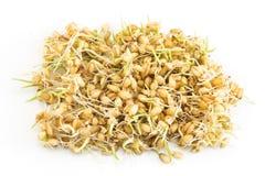 在白色背景的发芽的麦子 免版税图库摄影