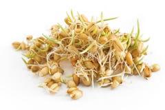 在白色背景的发芽的麦子 免版税库存图片