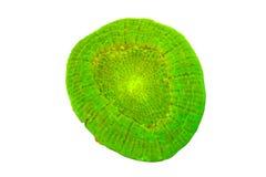 在白色背景的发萤光的单独珊瑚 库存照片