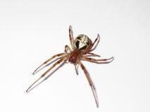 叶子卷曲的蜘蛛 库存图片