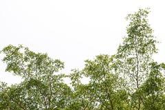 在白色背景的叶子 免版税图库摄影