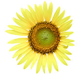 在白色背景的向日葵,向日葵 免版税库存照片