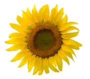 在白色背景的唯一向日葵 免版税图库摄影
