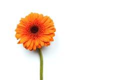 在白色背景的唯一橙色大丁草 免版税库存图片