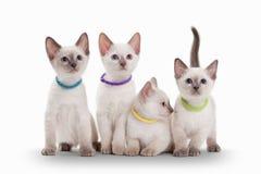在白色背景的四只小泰国小猫 免版税库存照片