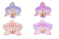 在白色背景的四朵兰花花 免版税库存图片