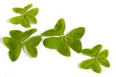 在白色背景的四棵鲜绿色的三叶草 库存图片