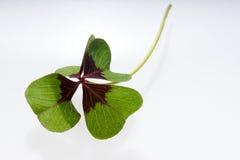 在白色背景的四片叶子三叶草 免版税图库摄影