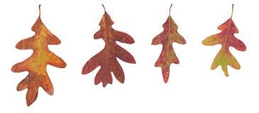 在白色背景的四片橡木叶子 免版税库存图片