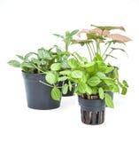 在白色背景的园林植物新芽 库存图片