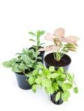 在白色背景的园林植物新芽 免版税库存图片