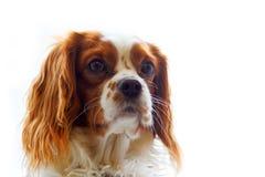 在白色背景的国王查尔斯狗 库存图片