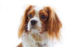 在白色背景的国王查尔斯狗 免版税库存照片