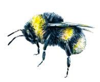在白色背景的土蜂 画开花的河结构树水彩绕的银行 昆虫艺术 手工 侧视图 库存照片