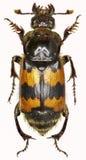 在白色背景的埋没的甲虫 免版税图库摄影