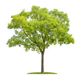 在白色背景的塔状树 图库摄影