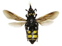 在白色背景的声势浩大的黄蜂 免版税库存照片