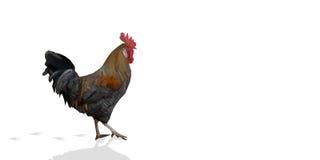 在白色背景的多角形雄鸡来克亨鸡公鸡 库存照片